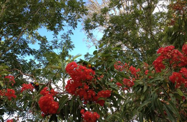 flowering-gum