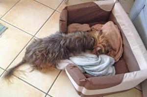 A scruffy dog lies sideways in her bed.