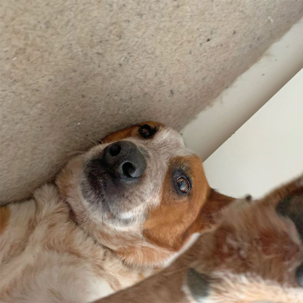 A red and white cattle dog cross has his paw up to the camera like he's taking a selfie and his neck is compressed like a double chin